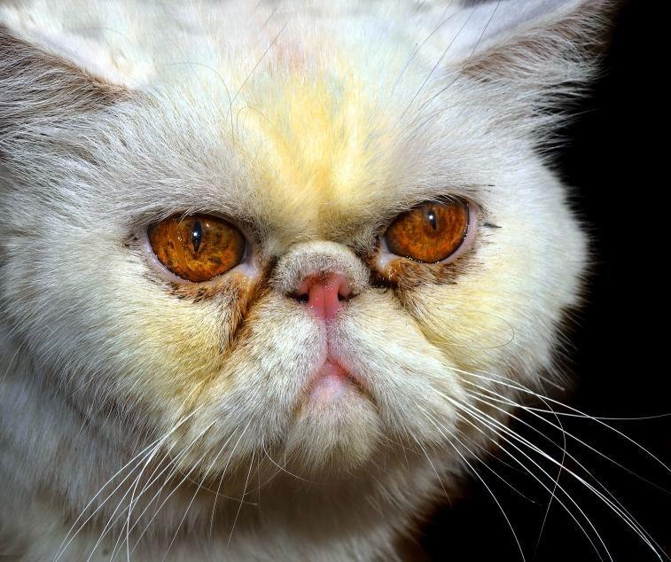 iran kedisi gözyaşı lekesi