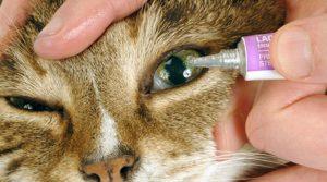Kedilerde Göz Bakımı, Kedilerde Göz Bakımı Nasıl Yapılır