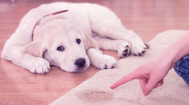 Köpeklerde Tuvalet Eğitimi, Köpeklerde Tuvalet Eğitimi Nasıl Verilir, Köpek Eğitimi