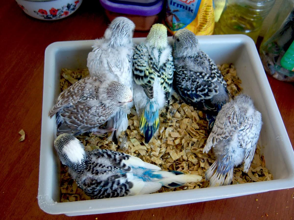 Muhabbet Kuşu Yavruları Nasıl Beslenir