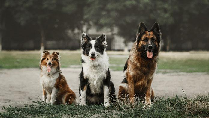 En Zeki Köpek Irkları