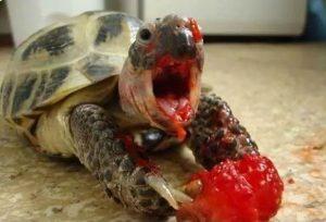Evcil Kaplumbağalar