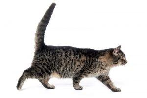 kediler vücut dili4