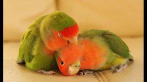 Evcil Hayvan Papağanlar