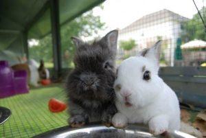 Evcil Tavşanlar