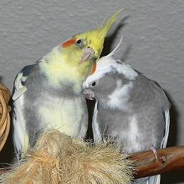 260px Cockatiels